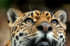 Mowgli the jaguar at Edinburgh Zoo