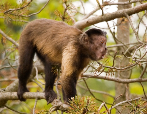 A highly sociable Brown Capuchin monkey calls to the others in his group