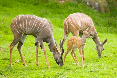 A young Kudu, born last year, is flanked by an adult male (to the front) and a female (to the back)