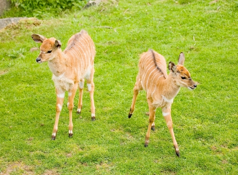 Two young nyala, born last spring, explore their enclosure together