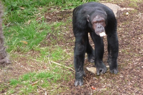 Quafzeh knuckle walks around the Budongo Trail enclosure