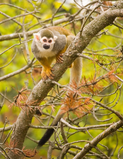 An inquisitive Squirrel Monkey looks out over its mixed Squirrel and Capuchin Monkey enclosure