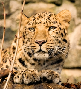 Skodge, our male Amur Leopard - possibly one of the most beautiful and threatened big cat species