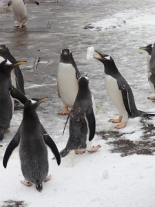 Playing in the snow – even Penguins have snowball fights!