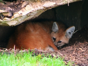 A Maned Wolf rests in its hide