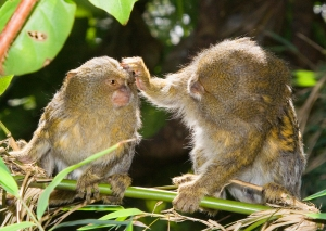 A Pygmy Marmoset carefully grooms a youngster