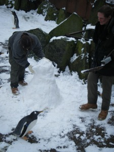 A curious Gentoo Penguin watches on as the keepers make the final touches to their 'Snow Penguin'