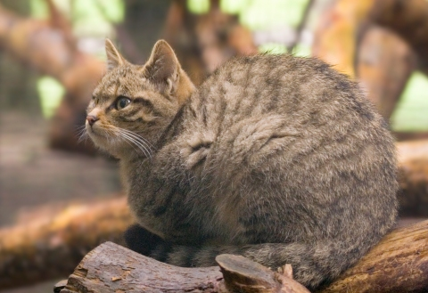 The Scottish Wildcat - a native species on the brink of extinction