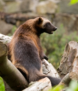 Despite its size the Wolverine is considered a ferocious animal
