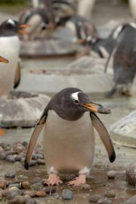 A male Gentoo Penguin picks out one of his nest stones