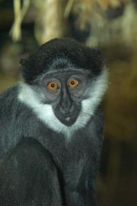 A young L'hoest Monkey poses for the camera!