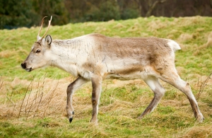 A young reindeer stakes out its new hill top enclosure