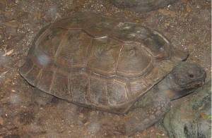 An adult Yellow-footed Tortoise (not resident at Edinburgh Zoo)