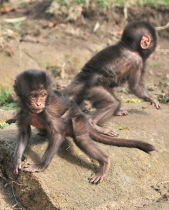 Chandu and Chibale are more independent and are becoming rather adventurous, exploring their enclosure and playing together