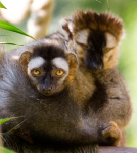 Our pair of dimorphic Red-fronted Brown Lemurs – the female pictured in front, and the male (sporting the red tufts) pictured behind