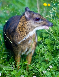 An adult Chevrotain, the smallest hoofed animal in the world