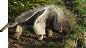 The nocturnal Giant Anteaters can be spotted (if your lucky!) at the Zoo hilltop