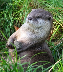 Short-Clawed Otters are often seen 'juggling' stones, and have been known to swallow them (this aids in the digestion of whole animal carcasses)
