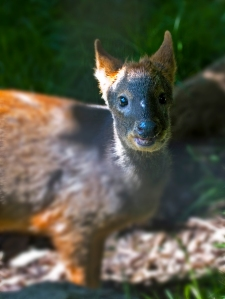 A pudu, the smallest species of deer in the world