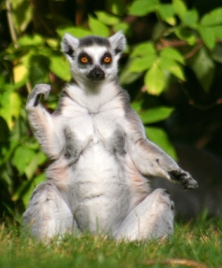 The Ring-tailed Lemurs can often be seen 'sunbathing' in warm weather