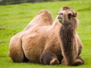 Our camels are off to pastures new!