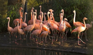 The flock of flamingos