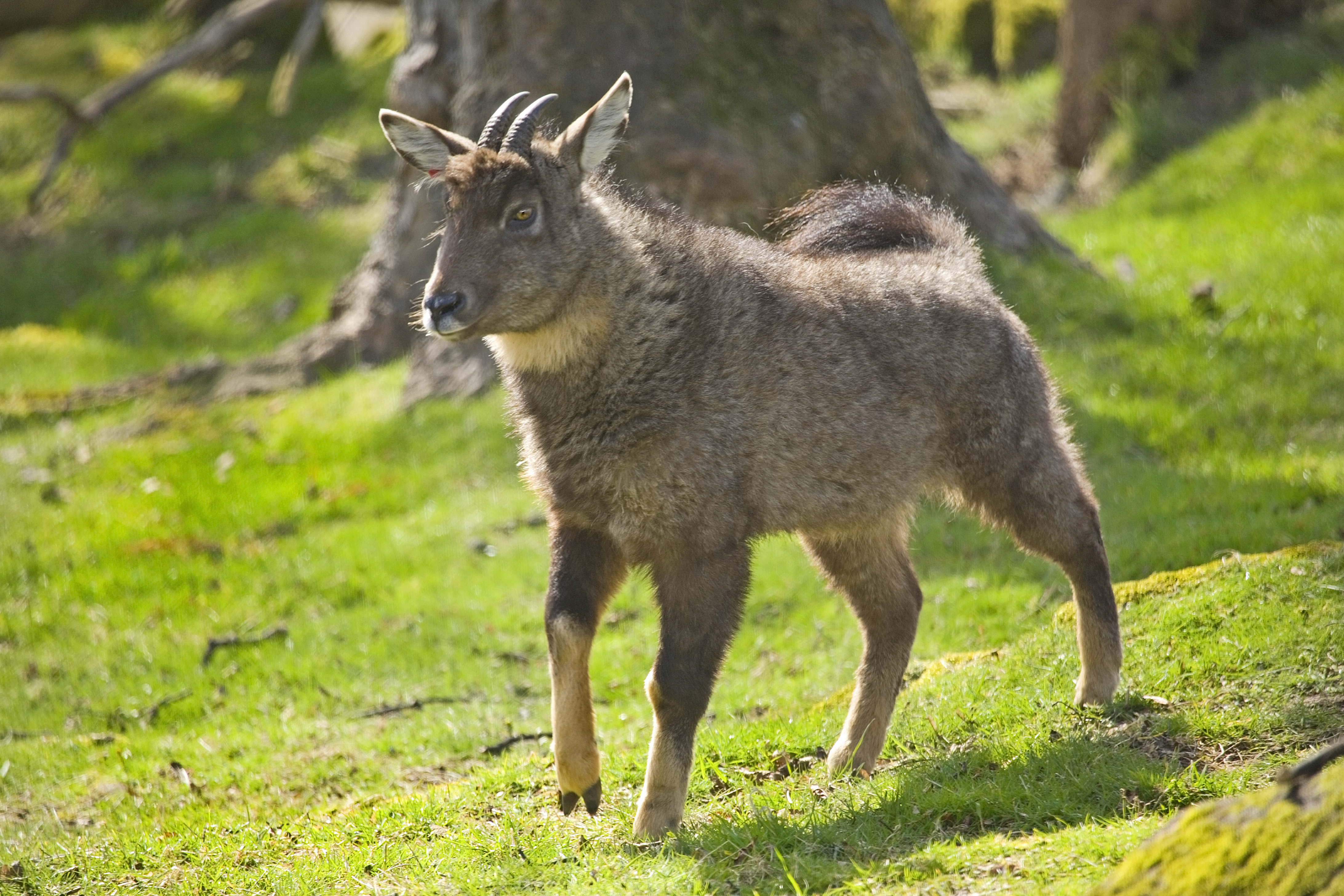 free downloading videos of  goral deer wiki