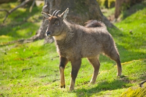 The Chinese goral, a vulnerable species of 'goat-antelope'