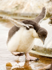 No matter how hard a young penguin might try, they still can't fly!
