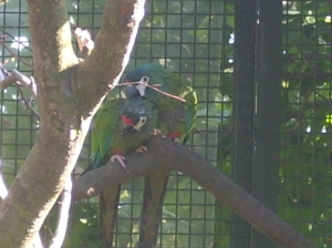 Our pair of blue-winged macaws are already looking promisingly 'loved-up'!