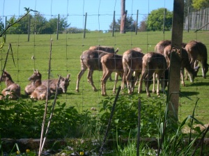 The large herd of new white-lipped deer get settled in