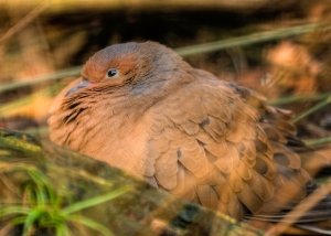 The Socorro Dove, extinct in the wild