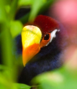 The violet turaco, also resident at Edinburgh Zoo