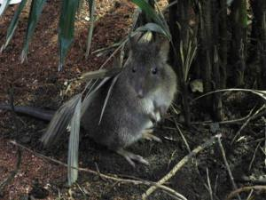 The long-nosed potoroo