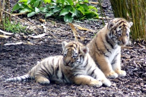 Very welcome additions to the Highland Wildlife Park and the captive breeding population
