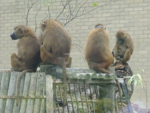 The new group settles in to live at Edinburgh Zoo