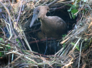 The hamerkop, so named because of the hammer-like shape of its head