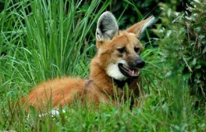 Our handsome maned wolf poses among the grasses