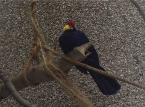 The Lady Ross's Turaco in its new enclosure