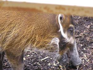 Hamish shows us what red river hogs do best!