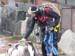 One diver gets to know the penguins!