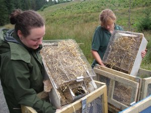 The voles are transferred from their traveling crates to their 'acclimatisation pens'