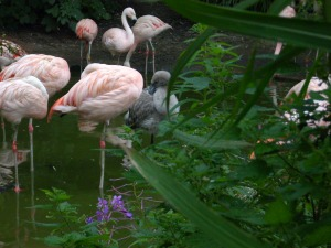 The flamingo chicks have really grown, and have even begun standing on one leg!