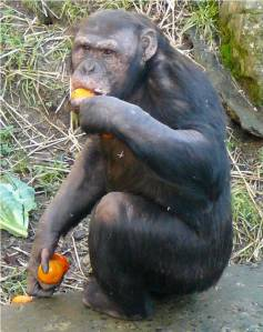 Kindia enjoying a piece of fruit while perhaps planning his next move in the group!