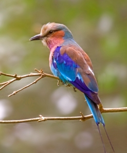 The beautiful adult lilac breasted roller