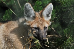 An almost adolescent maned wolf pup