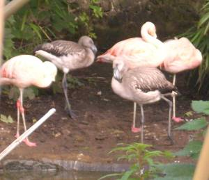 Flamingo chicks at 3 months old
