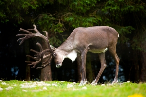 A reindeer stag practices some moves!