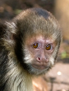 The highly intelligent yellow breasted capuchin