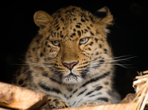 Zane, our female Amur leopard looks non too pleased with the recent news